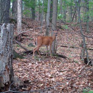 Les cerfs de Virginie